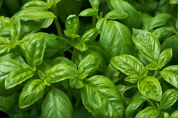 herbs - basil